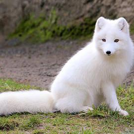 Athena Mckinzie - White Arctic Fox III