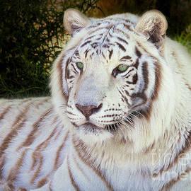 Janice Rae Pariza - White Bengal Tiger