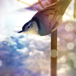 Christine Belanger - White-breasted Nuthatch