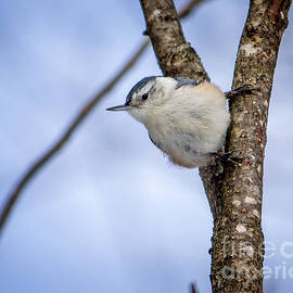 Rebecca Brooks - White-breasted Nuthatch
