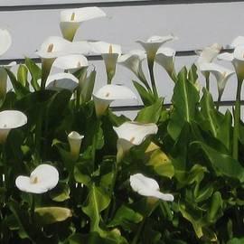 Jamie  Litle - White Calla Lilies