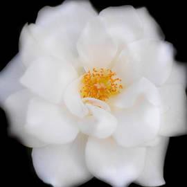 Parker Cunningham - White Camellia Horizontal