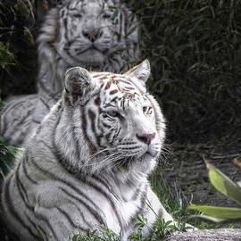 Joachim G Pinkawa - White Cats