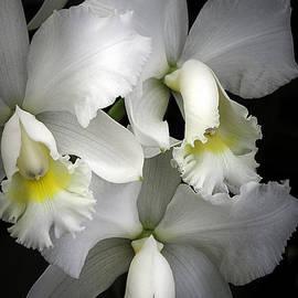 Julie Palencia - White Cattleya Orchids