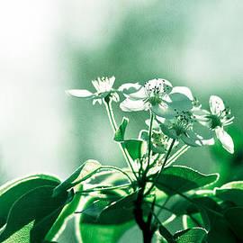 Alexander Senin - White Cherry Blossoms