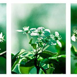 Alexander Senin - White Cherry Blossoms Triptych - Featured 3