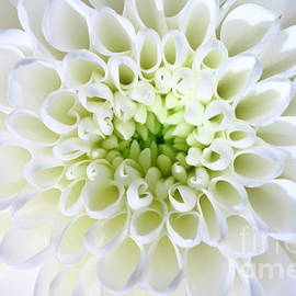 Gregory DUBUS - White Chrysanthemum flower