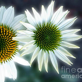 Arlene Carmel - White Conehead Daisy