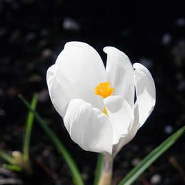 Baslee Troutman - White Crocus Flower Art prints Spring