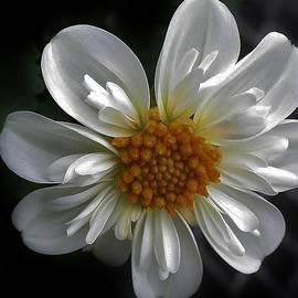 Bruce Bley - White Dahlia