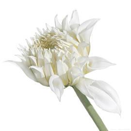 Jennie Marie Schell - White Dahlia Flower in the Beginning