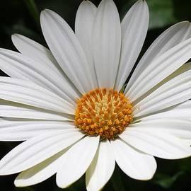 Bruce Bley - White Daisy