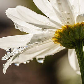 Vishwanath Bhat - White daisy with water drops