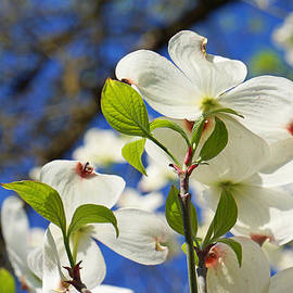 Baslee Troutman Nature Art Prints - White Dogwood Flower Blossoms Art Prints