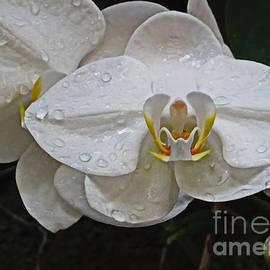 Dawn Gari - White Dream Orchid