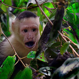 Gary Keesler - WHITE-FACED CAPUCHIN MONKEY