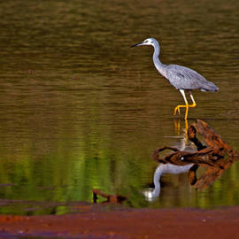 Mr Bennett Kent - White faced Heron and his Reflection