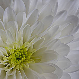 Dawn Williamson - White Flower