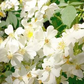 Srinivasan Venkatarajan - White Flowers