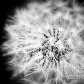 Jerry Cowart - White Fluffy Dandelion