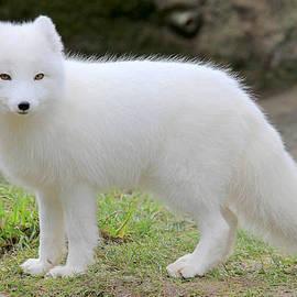 Athena Mckinzie - White Fox III