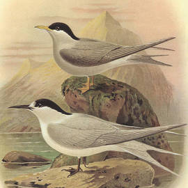 J G Keulemans - White Fronted Tern and Black Fronted Tern
