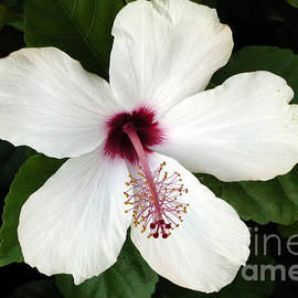 ILONA ANITA TIGGES - GOETZE  ART and Photography  - White Hibiskus
