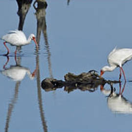 Dawn Currie - White Ibis Triptych - Black Surround