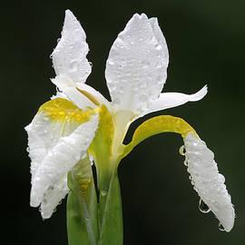 Juergen Roth - White Iris