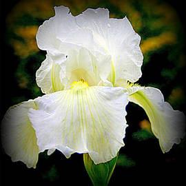 Kay Novy - White Iris