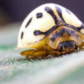 Craig Lapsley - White Ladybug