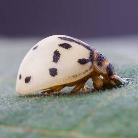 Craig Lapsley - White Ladybug Drinking