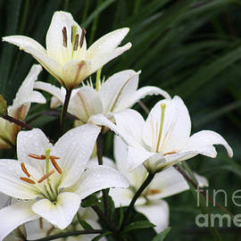 ILONA ANITA TIGGES - GOETZE  ART and Photography  - white Lilies 2