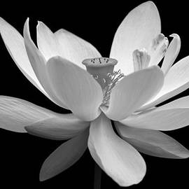 Dawn Currie - White Lotus