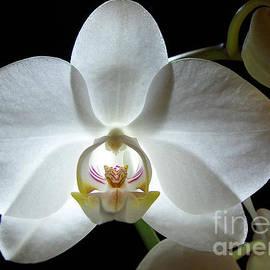 Kathi Mirto - White Moon Orchid