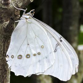 Penny Lisowski - White Morpho Butterfly
