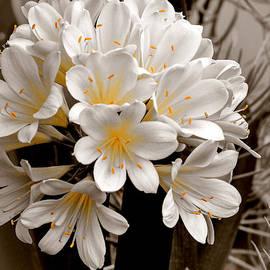 Julie Palencia - White Natal Lily Splash of Color