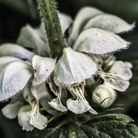 Leif Sohlman - White nettle bloom cl  by Leif Sohlman