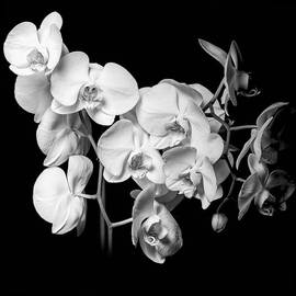Erik Brede - White Orchid - Black and White