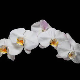 David Kittrell - White Orchid