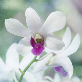 Kim Hojnacki - White Orchid