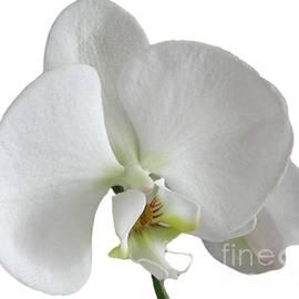 Lena Kouneva - White Orchid on white