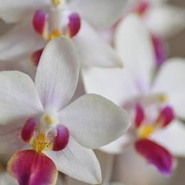 Lena Kouneva - White Orchid with Purple