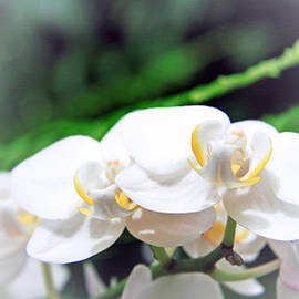 Lali Kacharava - Orchids