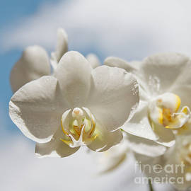 Sharon Mau - White Orchids - Messengers of Light