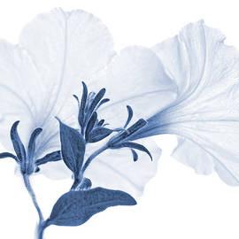 Jennie Marie Schell - White Petunia Flowers Blue Monochrome