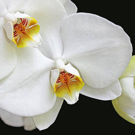 Jennie Marie Schell - White Phalaenopsis Orchid Flowers