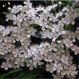 Joan-Violet Stretch - White Privet Blossom