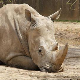 Judy Whitton - White Rhinoceros