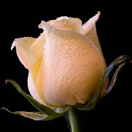 Don Johnson - White Rose